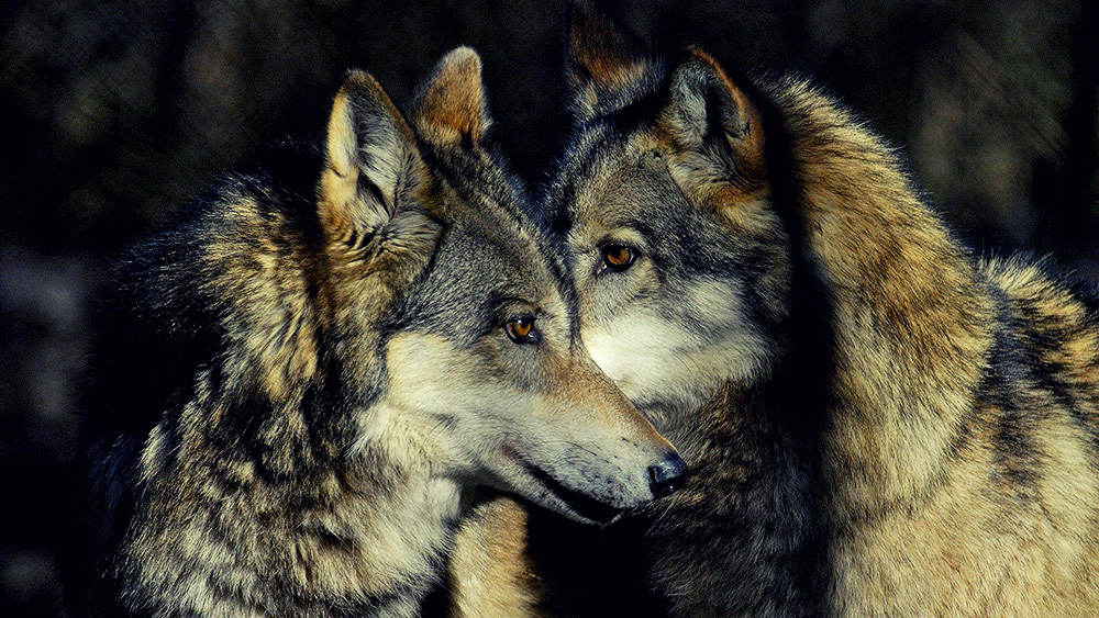 lupi-parco-maiella